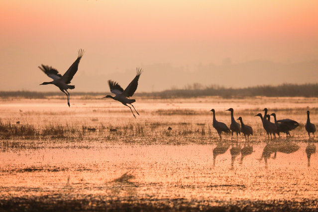 Black-necked cranes at Caohai national nature reserve in Guizhou province, China on December 5, 2018. (Photo by Wang Chunliang/Xinhua News Agency/Barcroft Images)