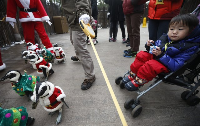 A boy on a stroller looks at penguins wearing Santa Claus (in red) and Christmas tree (in green) costumes during a promotional event for Christmas at an amusement park in Yongin, south of Seoul, December 18, 2013. (Photo by Kim Hong-Ji/Reuters)