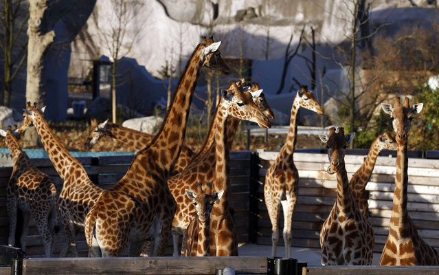 Giraffes stand in their enclosure at the Zoological Park of Paris, also known as the Zoo of Vincennes, in Paris on December 20, 2013. The zoo, which has been under renovation since 2008, is set to reopen in April 2014. (Photo by Thomas Samson/AFP Photo)