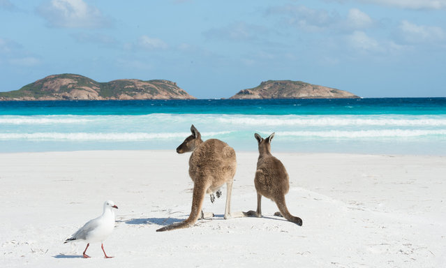 """Kangaroos enjoy the pristine white sand and stunning views of Lucky Bay, home to Australia's officially recognised """"whitest"""" beach, on February 16, 2016. Lucky Bay is set against a stunning seascape of 110 islands of the Recherche Archipelago. (Photo by James D. Morgan/Rex Features/Shutterstock)"""