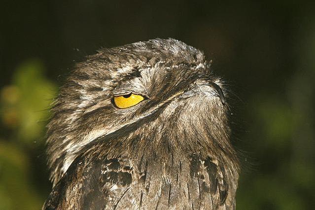 Nightjars And Pooto Bird