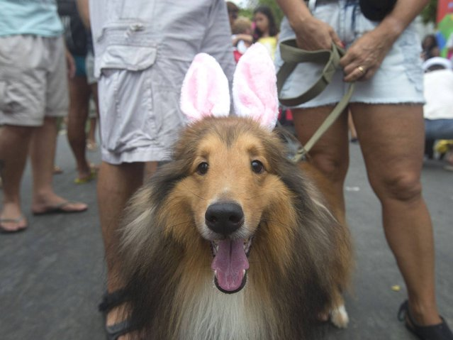 "A dog dressed in bunny ears is seen during the ""Blocao"" dog carnival in Rio de Janeiro. (Photo by Christophe Simon/AFP Photo)"