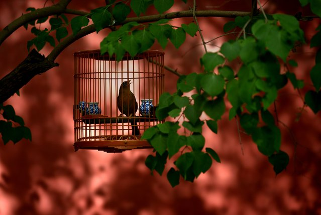 A bird in a cage is hung on a branch along a roadside near the Forbidden City in Beijing on May 3, 2015. (Photo by Wang Zhao/AFP Photo)