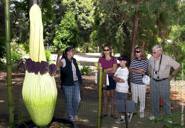 Intern Jennifer Drozd (L) shows visitors the world's biggest and stinkiest flower at the Quail Botanical Gardens