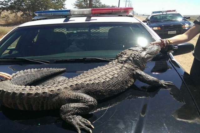 """This image provided by the Los Angeles County Sheriff's Department shows an alligator Thursday June 6, 2013 in Lancaster, Calif. Part of the """"Zoo to You"""" program in Paso Robles that introduces kids to animals, the alligator was being held by two females near a van after the animal urinated inside the van and the females had stopped to clean the the van. (Photo by AP Photo/ Los Angeles County Sheriff's Department)"""