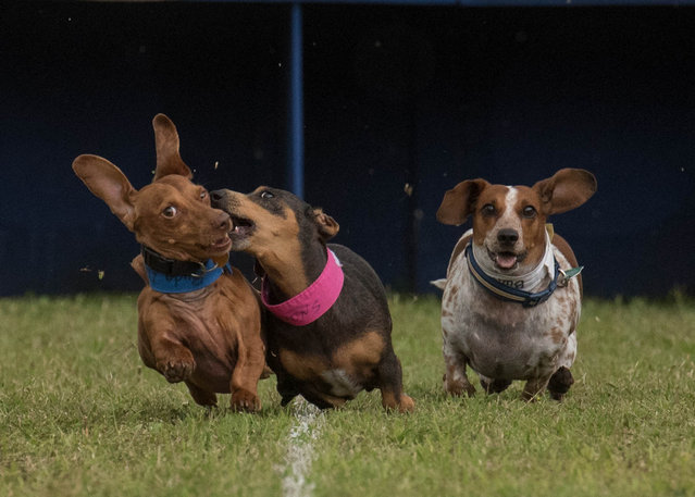 Dachshunds compete in the19th Annual Buda Wiener Dog Races on Sunday April 24, 2016 in Austin, Texas. (Photo by Erika Rich/American-Statesman)