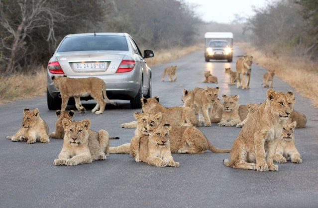 Retired bank exec, Geoffrey Veenendaal, 68, was thrilled to photograph the pride of wild lions as they disrupted his journey while travelling deep in the Kruger National Park, South Africa. Amateur photographer Geoffrey, from Cape Town, said the pack of five big cats stepped out of the bush before resting in the middle of the road, where they were joined by lionesses and their cubs. The wildlife enthusiast said it was the first mass sighting he had ever encountered. (Photo by Geoffrey Veenendaal/Caters News Agency)