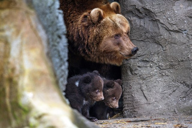 Brown bear Mascha and her cubs peek out a cave at Hagenbeck zoo in Hamburg, Germany, 11 April 2014. The zoo will perform the stocktaking later the day. (Photo by Maja Hitij/EPA)