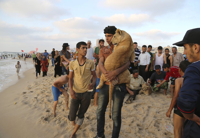 In this Monday, June 15, 2015 photo, Ibrahim Al-Jamal, 17, carries Mona, the female lion cub, as Max the male lion cub is petted by people on the  beach of Gaza City, in the northern Gaza Strip. (Photo by Adel Hana/AP Photo)