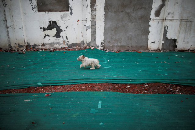 A dog runs on the remains of old houses covered with a green net in Guangfuli neighbourhood in Shanghai China, April 18, 2016. (Photo by Aly Song/Reuters)