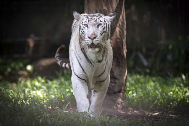 A White Tiger are seen at National Zoo in Kuala Lumpur, Malaysia on Wednesday, May 4, 2016. The 53-year-old National Zoo, locally known as Zoo Negara, has around 5,000 specimen from more than 450 species of mammals, birds, reptiles, amphibians and fish. (Photo by Vincent Thian/AP Photo)
