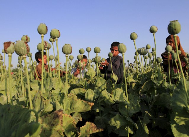 Afghan children gather raw opium on a poppy field on the outskirts of Jalalabad, April 28, 2015. (Photo by Reuters/Parwiz)