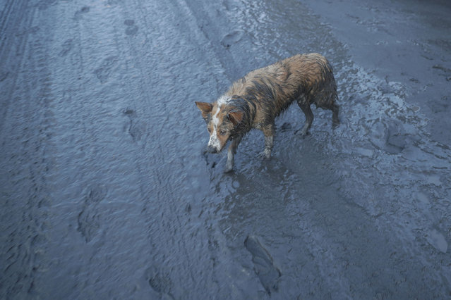 A dog walks along ash fall covered road as Taal Volcano continues to spew ash on Monday January 13, 2020, in Tagaytay, Cavite province, south of Manila, Philippines. (Photo by Aaron Favila/AP Photo)