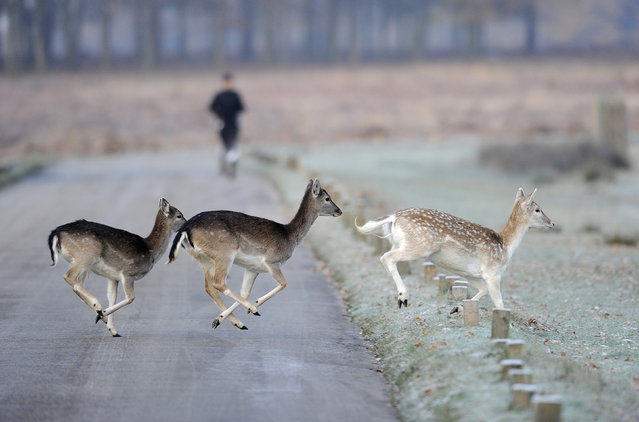 Deer run across the road as a man jogs through Richmond Park in south west London November 28, 2010. (Photo by Paul Hackett/Reuters)