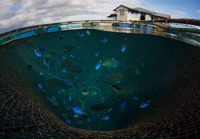 Blue tang and other tropical species are held in cages for export in Maluku, Indonesia. While most artisanal fishing puts food on the plate, the aquarium trade is worth $4-$5bn per year. Millions of clown fish were collected after the movie Finding Nemo, and the sequel Finding Dory raised concerns for the more vulnerable blue tang. (Photo by Paul Hilton/WCS)