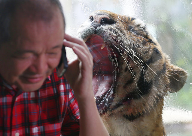 """Malabon Zoo owner Manny Tangco talks on his cellphone as Bengal tiger """"Ninoy"""" opens his mouth Thursday, July 14, 2016 at Malabon city, north of Manila, Philippines. (Photo by Bullit Marquez/AP Photo)"""