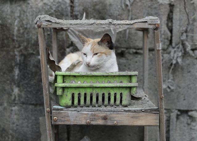 A cat rests on a furniture that is covered in volcanic-ash at a town near Taal volcano in Tagaytay, Cavite province, southern Philippines on Sunday January 19, 2020. (Photo by Aaron Favila/AP Photo)