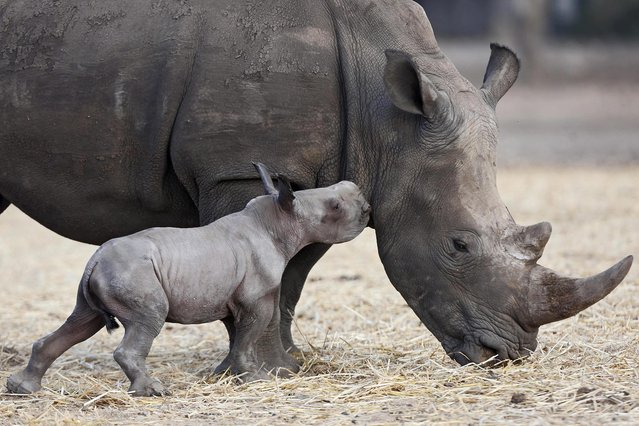 A new-born female square-lipped rhinoceros approaches its mother Keren at the Ramat Gan Safari near Tel Aviv, Israel, 24 August 2015. The yet unnamed rhino was presented to the public as part of a special breeding program of the Safari. (Photo by Abir Sultan/EPA)