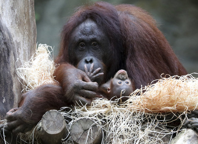 """Orangutan mother Hsiao-Ning holds her seven week old baby at the zoo in Rostock, northern Germany, Friday, September 8, 2017. The female baby orangutan was named """"Niah"""", which means """"The joyful one"""". (Photo by Bernd Wuestneck/DPA via AP Photo)"""