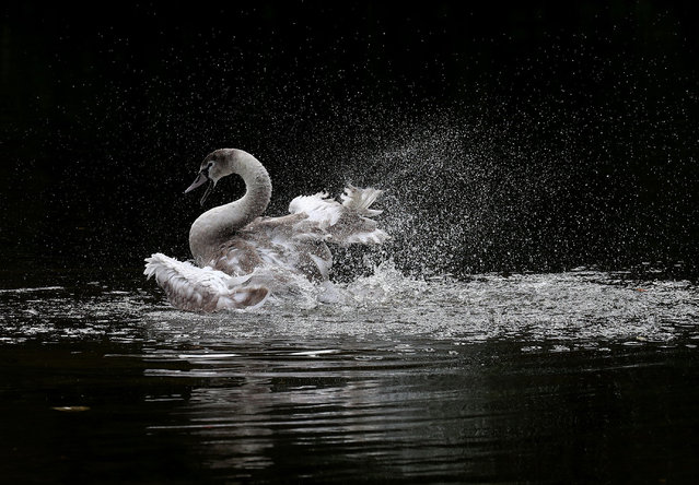 A cygnet splashes in the loch at Callendar Park in Falkirk, UK on October 10, 2017. (Photo by Andrew Milligan/PA Wire)