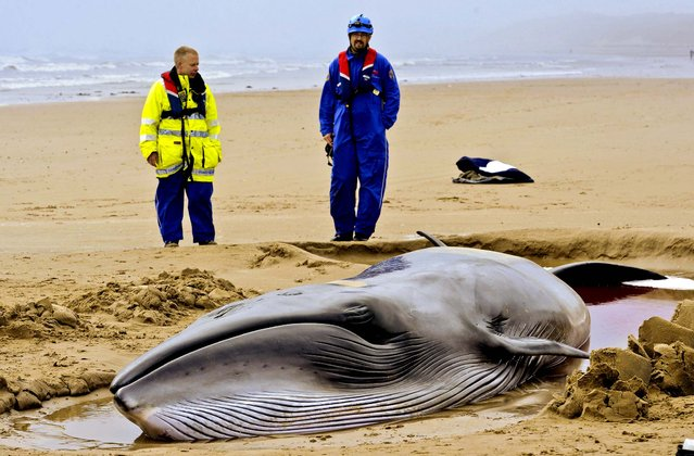 A rescue team looks at a 26-foot Minke whale that washed up on shore from gale force winds and high seas in Druridge Bay, England, on September 26, 2012. The whale is alive but in a poor condition, the British Divers Marine Life Rescue charity said. (Photo by Owen Humphreys/PA)