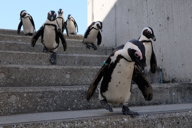 Cape penguins stroll at Hakkeijima Sea Paradise, which is closed amid the COVID-19 coronavirus pandemic, in Yokohama on May 8, 2020 as part of a theme park's project to deliver the state of animals through official website and SNS. (Photo by Kazuhiro Nogi/AFP Photo)