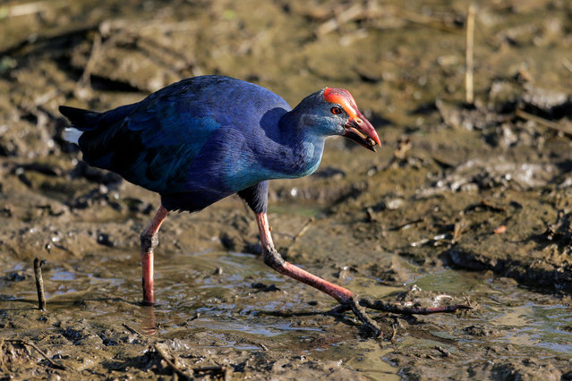 A Purple Swamphen (Porphyrio porphyrio) also known as the Purple coot searches for food on the Diyawanna Oya wetland in the suburb of Colombo, Sri Lanka, 06 January 2020. (Photo by Chamila Karunarathne/EPA/EFE)