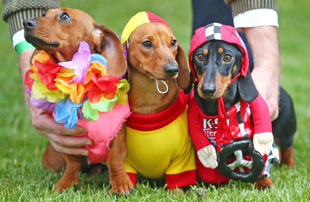 Mini dachshunds Willy (C), dressed as a surf livesaver and Cooper (R), dressed as a racing car driver compete in the Hophaus Southgate Inaugural Best Dressed Dachshund competition on September 19, 2015 in Melbourne, Australia. (Photo by Scott Barbour/Getty Images)