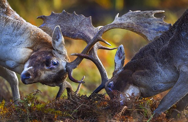 Fallow deer challenge each other during the rutting season in Leicestershire, United Kingdom. Stags can be heard roaring and barking in an attempt to attract females. (Photo by Michael Regan/Getty Images)
