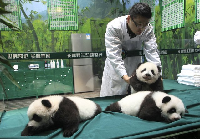 A feeder moves a giant panda cub in an enclosure as the panda triplets make their debut appearances to the public to celebrate their 100th days after birth, at Chimelong Safari Park in Guangzhou, Guangdong province November 5, 2014. The triplets was given birth by giant panda Juxiao (not pictured) at the park in July. The birth is seen as a miracle due to the low reproduction rate of giant pandas. (Photo by Reuters/China Daily)