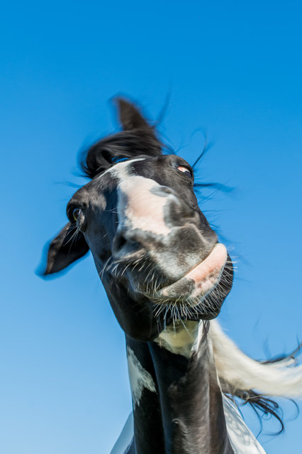 Shooting the head-shaking horse with a high shutter speed pictured by Alexander Pfeiffer for the Comedy Wildlife Photo Awards 2016. (Photo by AlexanderPfeiffer/Barcroft Images/Comedy Wildlife Photo Awards)