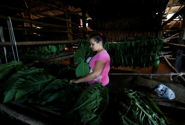 18 years-old tobacco farm worker Daidelis Gomez prepares tobacco leaves for drying while working at a tobacco farm in Pinar del Rio province, Cuba on February 28, 2018. (Photo by Reuters/Stringer)