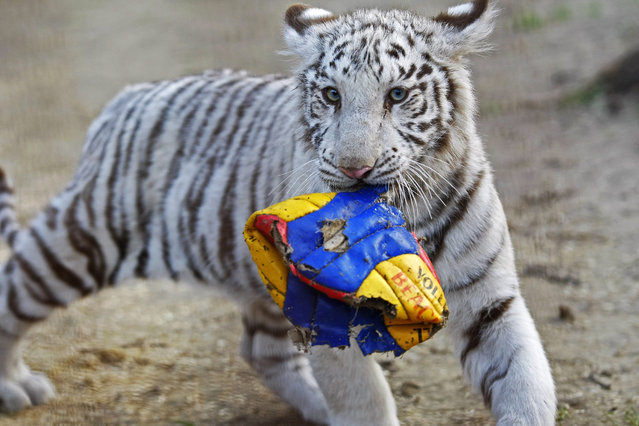 A white Bengal tiger cub is seen in her enclosure at a private zoo in Felsolajos some 80 kms south of Budapest, Hungary, Monday, October 26, 2015. The zoo's two female cubs, were born in May. (Photo by Janos Bugany/MTI via AP Photo)