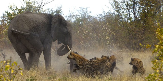 """Mehta said: """"We heard cries of elephants in distress. On leaving the track and going towards the sounds in the bush we found a group of 12-14 hyenas chasing a herd of around eight elephants"""". (Photo by Jayesh Mehta/Caters News)"""