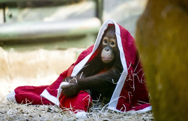 A baby orangutan plays with a Christmas costume at the zoo in Dvur Kralove nad Labem, 146 kilometers east of Prague, Czech Republic, Sunday, December 21, 2014. Christmas Day came early for some animals in the zoo, where the employees prepared presents for them filled with dried fruit, nuts, clothes or dishes. (Photo by David Tanecek/AP Photo/CTK)