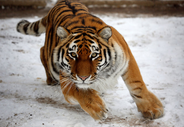 Yunona, a four-year-old female Amur tiger, makes an attempt to attack inside an open-air cage at the Royev Ruchey zoo in Krasnoyarsk, Russia, October 21, 2016. (Photo by Ilya Naymushin/Reuters)
