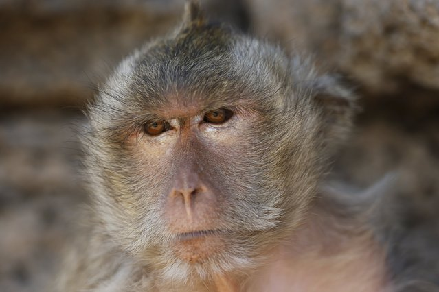 A long-tailed macaque is seen at the Pra Prang Sam Yot temple before the annual Monkey Buffet  Festival in Lopburi, north of Bangkok November 29, 2015. (Photo by Jorge Silva/Reuters)