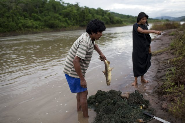 "In this November 21, 2015 photo, Raquel Santos instructs her husband, fisherman Rogelio Santos, where to place the fish he caught in the Ene River in Potsoteni, an Ashaninka indigenous community in Peru's Junin region. The Ashaninka, whose lands have been reduced by incursions and assaults by loggers, miners, colonists and leftist guerrillas, live mainly on fish and yuca, a starchy tuber, and ""masato"", a fermented drink made from the plant. (Photo by Rodrigo Abd/AP Photo)"