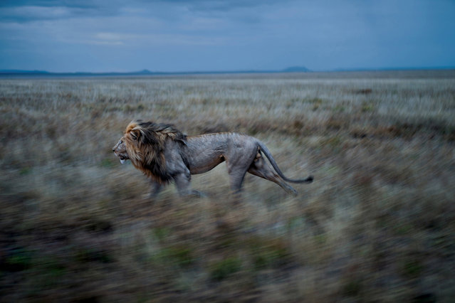 Hildur, C-Boy's partner, frequently makes a long run to visit the Simba East pride. A coalition that controls two prides must maintain vigilance over both. (Photo by Michael Nichols/National Geographic via The Atlantic)