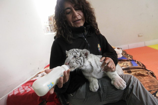 A white Bengal tiger cub is fed by veterinarian Catalina Hermoza during a press presentation at Huachipa's private Zoo in Lima August 5, 2013. The 41-day-old, yet unnamed cub was born at the park and is the first white Bengal tiger in Peru to have been born in captivity. (Photo by Mariana Bazo/Reuters)