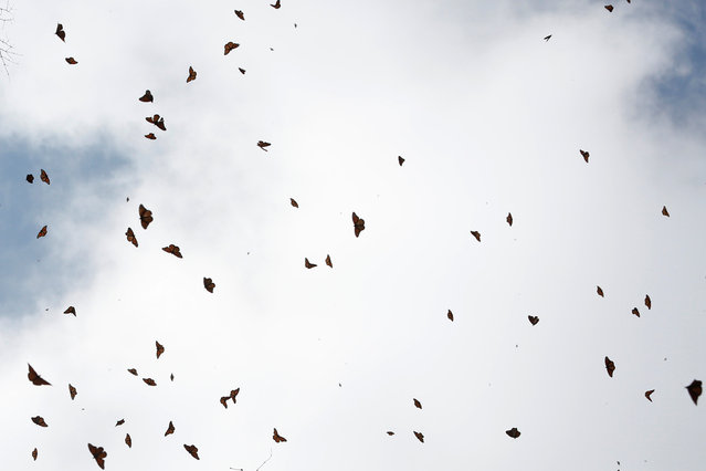 Monarch butterflies fly at the Sierra Chincua butterfly sanctuary on a mountain in Angangeo, Michoacan November 24, 2016. (Photo by Carlos Jasso/Reuters)