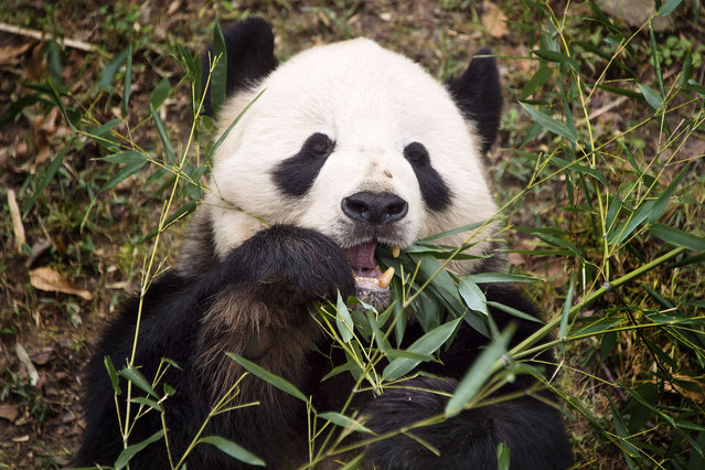 A Giant Panda eats bamboo at the Smithsonian National Zoological Park in Washington, DC, December 28, 2015. (Photo by Jim Watson/AFP Photo)