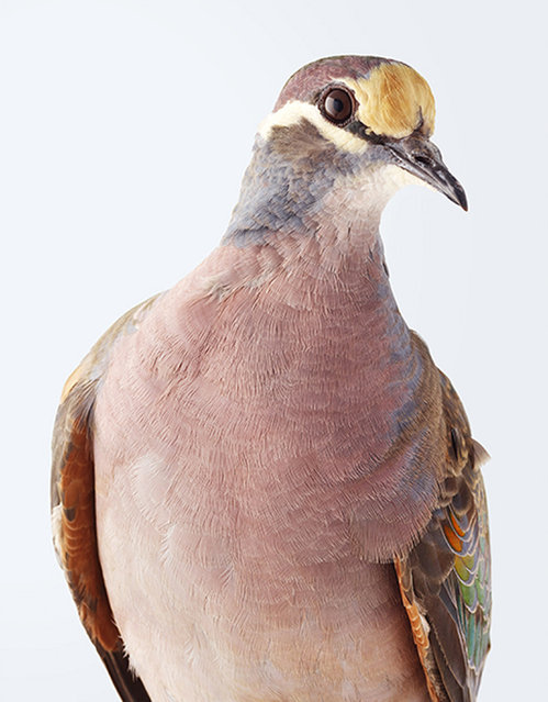 """This photographer has made it her mission to change people's perception of pigeons – focusing on some of the most beautiful of the more than 300 species found globally. Rather than focus on the gray, nondescript birds people usually associate with the term """"pigeon"""", Leila Jeffreys has instead decided to snap the more vibrant varieties. Whether it be the wompoo pigeon, with its deep purple breast and green wings, or the rose-crowned fruit dove, with its pink head, Jeffreys, 46, gives the birds the same attention she would give a human model. (Photo by Leila Jefferies/Caters News Agency)"""