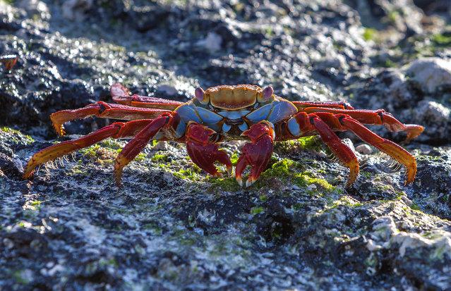 A Zayapa red crab. (Photo by Carl Fredrickson)