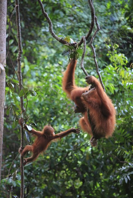 A defiant baby orangutan clings to a tree branch and demands more playtime. (Photo by Ruoso/Minden Pictures/Solent News)