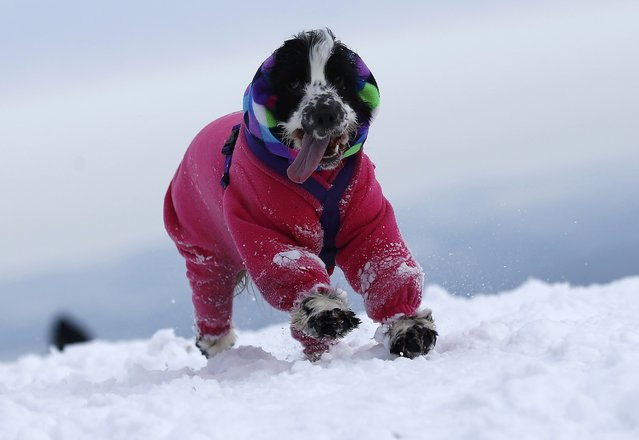 A dog in a jacket runs through snow at Bradgate Park in Newtown Linford, central England, January 17, 2016. (Photo by Darren Staples/Reuters)