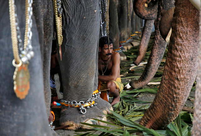 A mahout sits in between the elephants before taking part in the annual eight-day long Vrischikolsavam festival, which features a colourful procession of decorated elephants along with drum concerts, at Sree Poornathrayeesa temple in Kochi, December 5, 2018. (Photo by Sivaram V/Reuters)