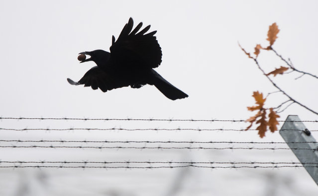 A crow carrying a nut flies over a barbed wire in Hanover, northern Germany on November 27, 2018. (Photo by Julian Stratenschulte/DPA)