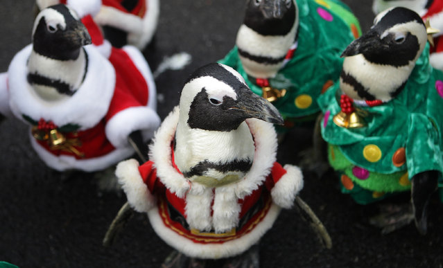 Penguins dressed in Santa costumes and Christmas tree costumes are paraded at Everland, South Korea's largest amusement park on December 18, 2013 in Yongin, South Korea. Many Christian and non-Christian Koreans celebrate the holiday by exchanging gifts, caroling and participating in church services. South Korea is the only east Asian nation that recognises Christmas as a national holiday. (Photo by Chung Sung-Jun/Getty Images)
