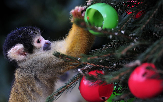 A squirrel monkey eats from christmas tree baubles filled with silkworms and crickets during a photocall at London Zoo in central London on December 18, 2013. (Photo by Carl Court/AFP Photo)